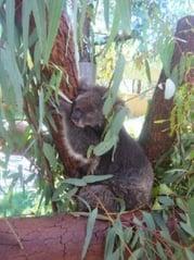 Sprachaufenthalt Australien Koala
