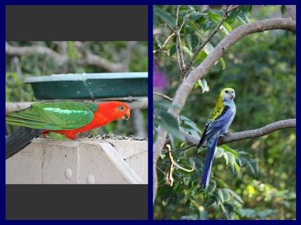 Vögel in sehr bunt. Australiens vielfältige Fauna erstaunt immer wieder.