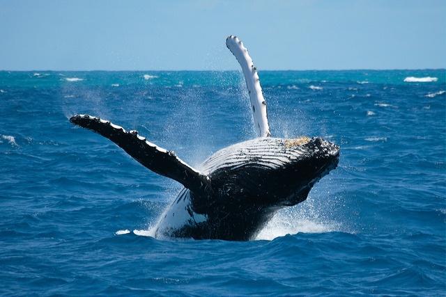 schwimmen_walhaie_australien_geheimtipps_fotolia