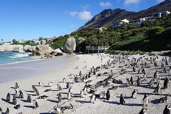 Südafrika-Pinguine-Freiwilligenarbeit