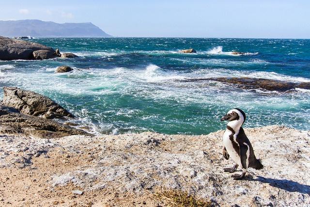 Sprachreise-Kapstadt-Pinguine